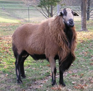 The Barbados Blackbelly Sheep (I kid you not..)