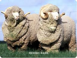 Merino Rams provide wool for those delicate fine knitwear.  Who'd of thought ..