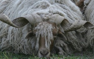 An old unknown sheep breed with fancy horns.